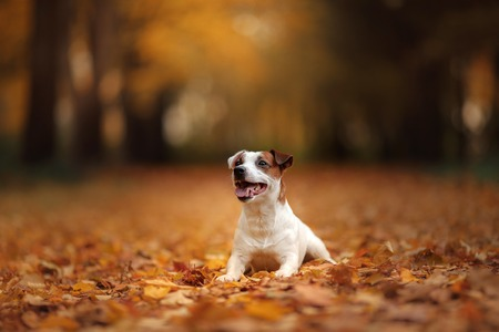 autumn mood. Jack Russell Terrier dog with leaves. gold and red color, walk in the park Standard-Bild