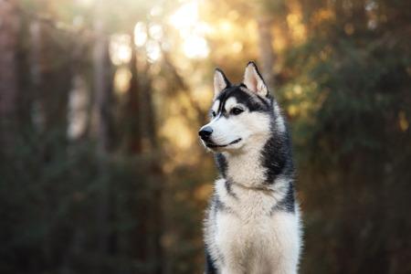 Dog breed Siberian Husky walking in autumn forest