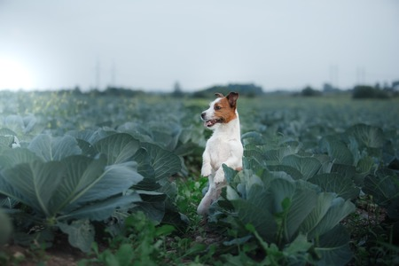 Dog Jack Russell Terrier in cabbage field 스톡 콘텐츠