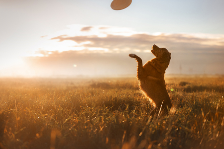 Dog Nova Scotia Duck Tolling Retriever in a field at sunrise Banco de Imagens - 64505000