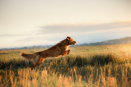 Dog Nova Scotia Duck Tolling Retriever in a field at sunrise