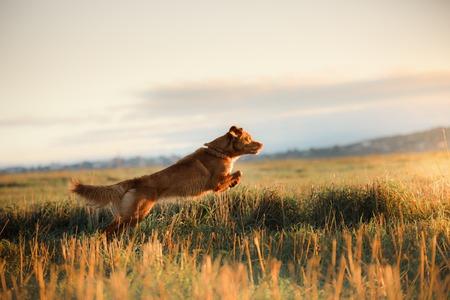 Hond Eend van Nova Scotia Retriever van de Tol in een veld bij zonsopkomst
