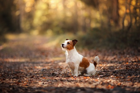 Dog Jack Russell Terrier, walk in the forest in summer Stock Photo