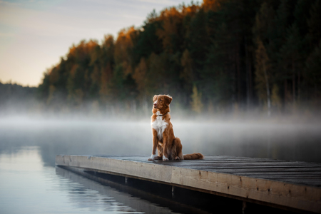 Dog Nova Scotia Duck Tolling Retriever, shore of the lake in early morning