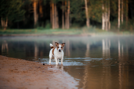 Dog Jack Russell Terrier shore of the lake in early morning Stock Photo