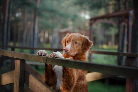 obedient: Nova Scotia Duck Tolling Retriever Dog paws and is looking forward to a wooden bridge. obedient dog