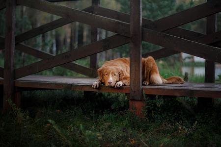 obedient: Nova Scotia Duck Tolling Retriever dog lying on a wooden bridge. obedient dog
