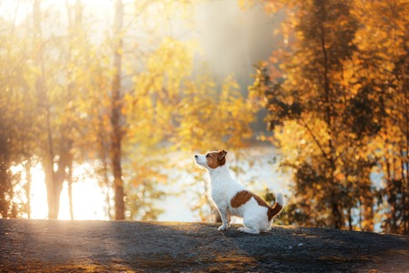 obedient: Jack Russell Terrier sitting in front looks. obedient dog outdoors in autumn season