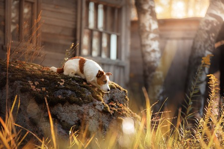 Dog Jack Russell Terrier in the village lying on a stone. Autumn mood