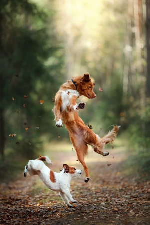 Dog Jack Russell Terrier and dog Nova Scotia Duck Tolling Retriever jump over the leaves, autumn mood 스톡 콘텐츠