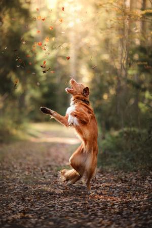 Nova Scotia Duck Tolling Retriever jump over the leaves, autumn mood