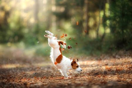Hond Jack Russell Terrier springt over de bladeren, herfststemming Stockfoto