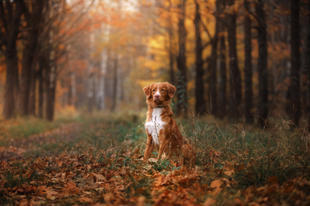 obedient: Nova Scotia Duck Tolling Retriever sitting in front looks. obedient dog outdoors in autumn season Stock Photo