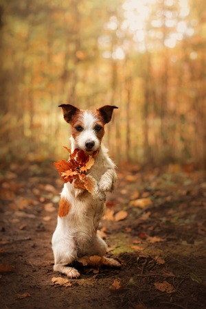 Dog keeps paws yellow leaf. Obedient Jack Russell Terrier in the autumn in the park, outdoors