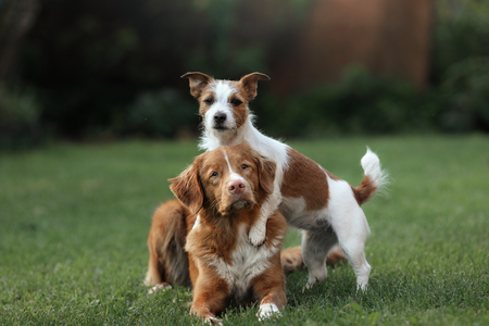 obedient: Dog Jack Russell Terrier and dog Nova Scotia Duck Tolling Retriever and hugging each other. obedient and friendly Stock Photo