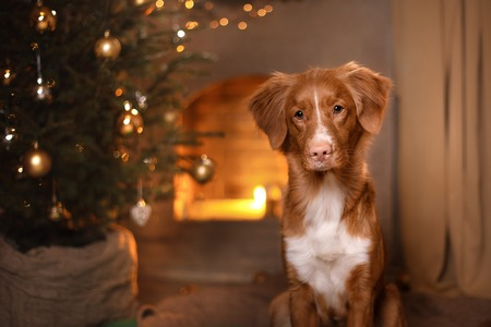 Happy New Year, Christmas, Dog Nova Scotia Duck Tolling Retriever, holidays and celebration, pet in the room the Christmas tree