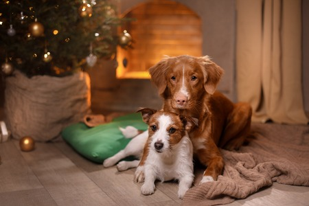 Dog Jack Russell Terrier and Dog Nova Scotia Duck Tolling Retriever . Happy New Year, Christmas, holidays and celebration, pet in the room the Christmas tree 스톡 콘텐츠