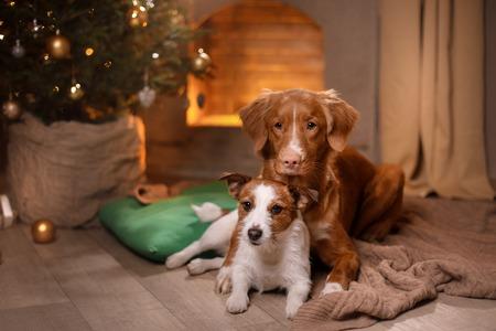 Hond Jack Russell Terrier en Dog Nova Scotia Duck Tolling Retriever. Gelukkig Nieuwjaar, Kerstmis, vakantie en feest, huisdier in de kamer de kerstboom