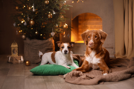 Dog Jack Russell Terrier and Dog Nova Scotia Duck Tolling Retriever . Happy New Year, Christmas, holidays and celebration, pet in the room the Christmas tree Banco de Imagens