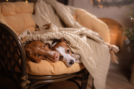 Dog Jack Russell Terrier and Dog Nova Scotia Duck Tolling Retriever . Happy New Year, Christmas, holidays and celebration, dog's nose under the blanket, dog sleeping and hid