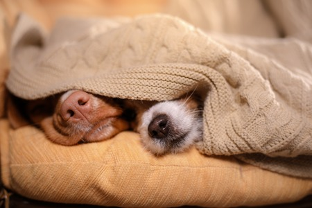Dog Jack Russell Terrier and Dog Nova Scotia Duck Tolling Retriever. dog's nose under the blanket, dog sleeping and hid
