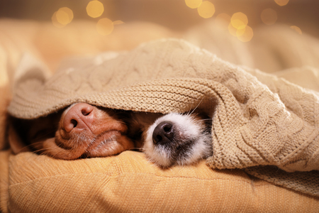Dog Jack Russell Terrier and Dog Nova Scotia Duck Tolling Retriever. dogs nose under the blanket, dog sleeping and hid