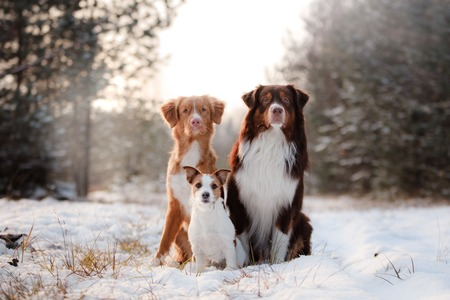 Nova Scotia Duck Tolling Retriever dogs, Australian shepherd and Jack Russell terrier together