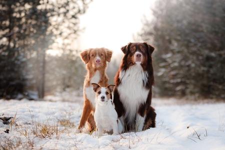 Nova Scotia Duck Tolling Retriever honden, Australische herder en Jack Russell terrier samen Stockfoto
