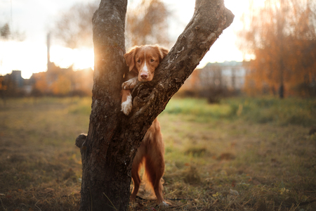 walk in: Nova Scotia Duck Tolling Retriever, dog put his paws on tree, walk in autumn park