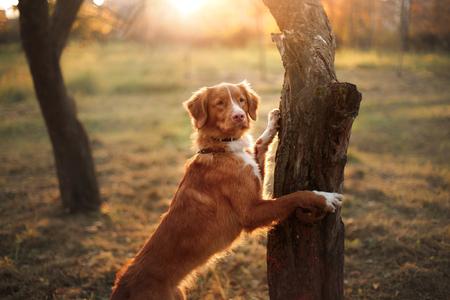ノバスコシア州ダック ・ トーリング ・ レトリーバー、犬の木に彼の足を置く秋の公園の中を歩く 写真素材