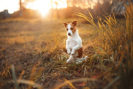 walk in: Dog Jack Russell Terrier walk in autumn park Stock Photo