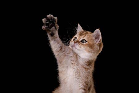 Tabby Scottish kitten, portrait on a studio black background