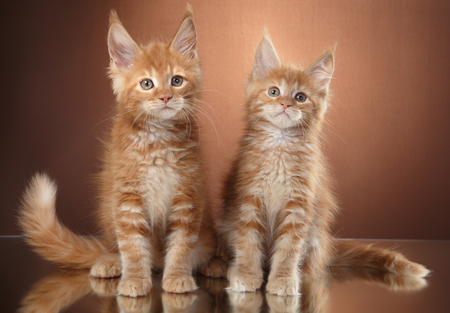Maine Coon kitten portrait on a color background, two striped kittens Stock Photo