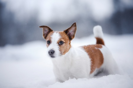 dog portrait of a Jack Russell terrier on nature in winter snow