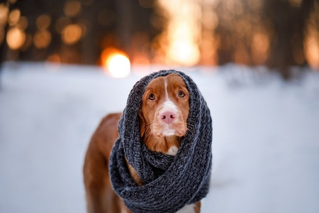 Nova Scotia Duck Tolling Retriever Dog wearing a scarf outdoors in the winter