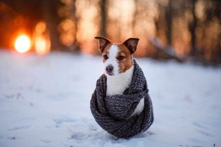 russel: jack russel terrier Dog wearing a scarf outdoors in the winter