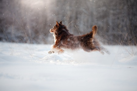 Dog breed Australian Shepherd, Aussie, walking through the snow in the forest