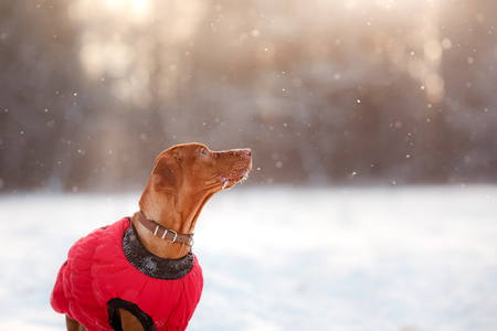 Dog Hungarian Vizsla pointer, walking through the snow in the forest