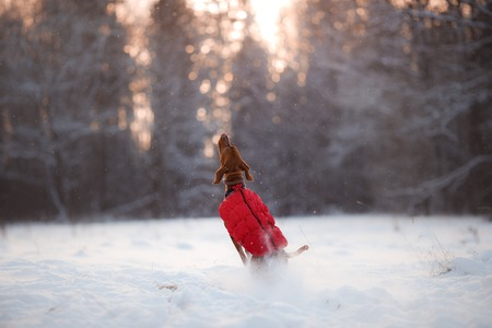 hungarian pointer: Dog Hungarian Vizsla pointer, walking through the snow in the forest
