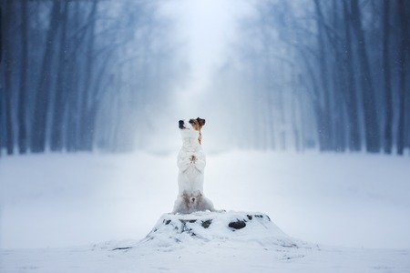 Dog Jack Russell Terrier, dog running outdoors in the winter, snow