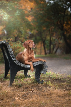 Vizsla dog in nature. Autumn and outside