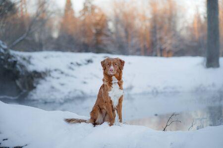 Dog Nova Scotia Duck Tolling Retriever, outdoors in the winter, snow, happy