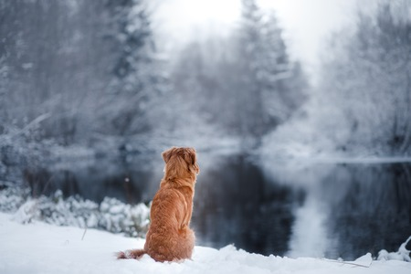 dog in winter outdoors, Nova Scotia Duck Tolling Retriever, in the forest, obedient
