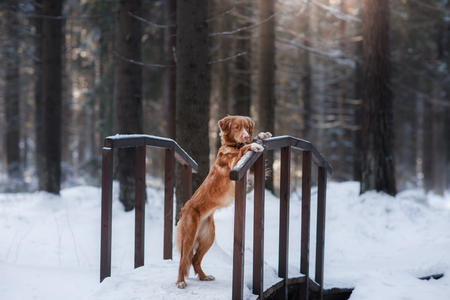 Nova Scotia Duck Tolling Retriever breed of dog in the woods in nature, winter season, frost