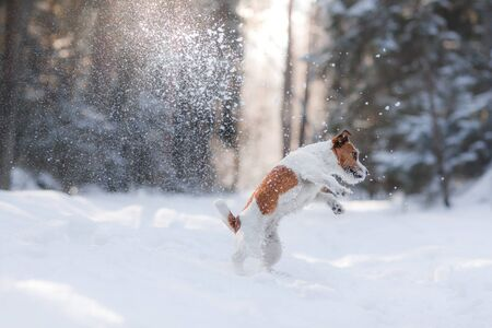 Active and beautiful dog breed jack russel terrier outdoors in the forest park Stock Photo
