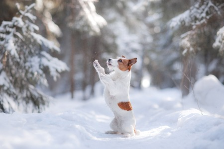 perros vestidos: Active and beautiful dog breed jack russel terrier outdoors in the forest park Foto de archivo