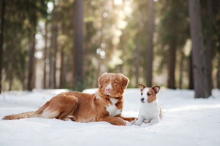 Nova Scotia Duck Tolling Retriever dog on nature in the forest park Stock Photo