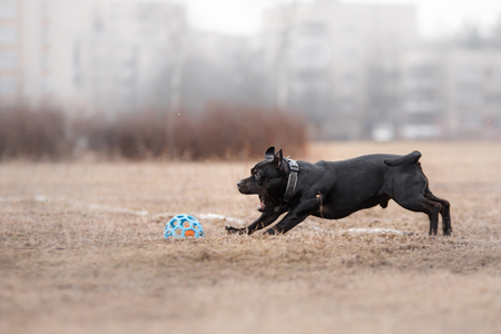 plastico pet: Dog catching flying disk, pet playing outdoors in a park. Foto de archivo