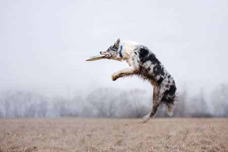 Dog catching flying disk, pet playing outdoors in a park. Australian Shepherd, Aussie Stock Photo