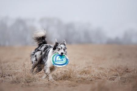 Hond die vliegende schijf inhaal, huisdier speelt buitenshuis in een park. Australische herder, Aussie